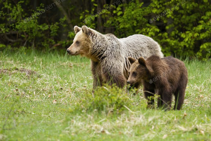 Family of brown bear cub and mother standing on green meadow in spring