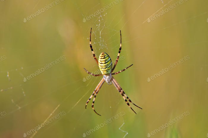 Wasp spider sitting on a spider web