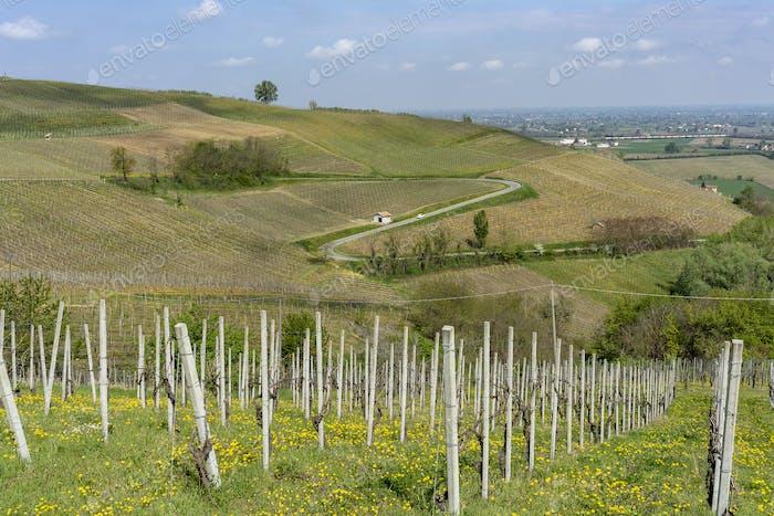 Vineyards of Oltrepo Pavese in April