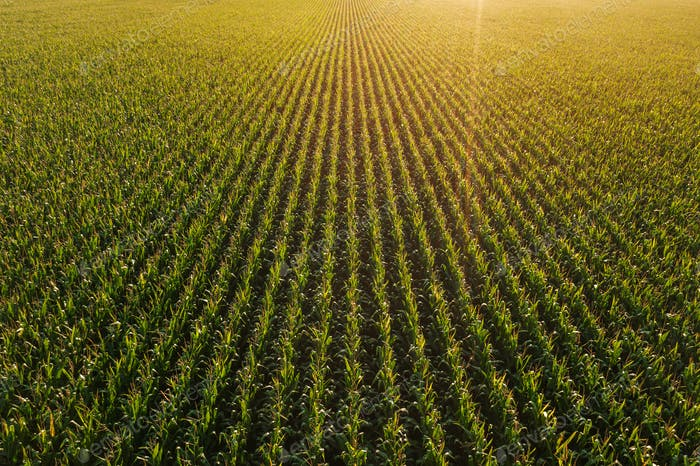 Diminishing perspective aerial view of green corn field in summer sunset