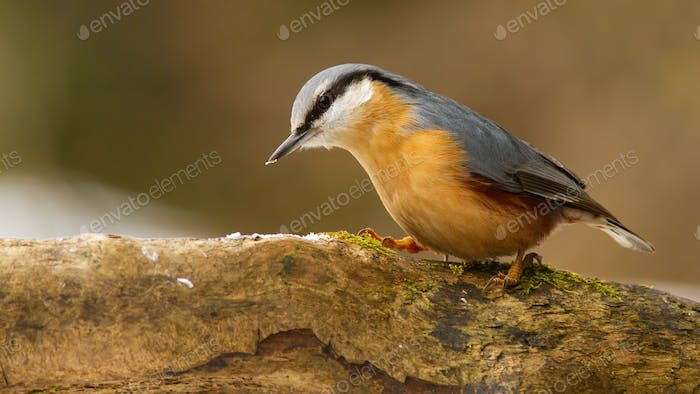 Eurasian nuthatch sitting on branch in winter nature