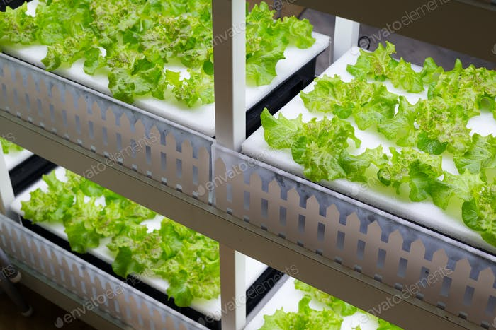 Cultivation vegetables in hydroponics