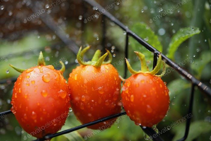 Tomatoes on rack
