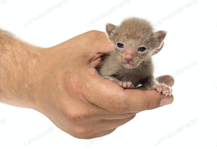 Cute little Peterbald cat kitten on the human's hands