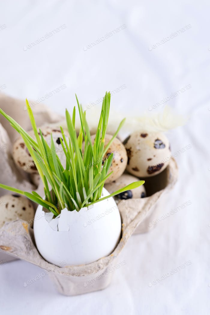 Holiday Easter card with quail eggs in a paper box and fresh green grass in eggshell on a white