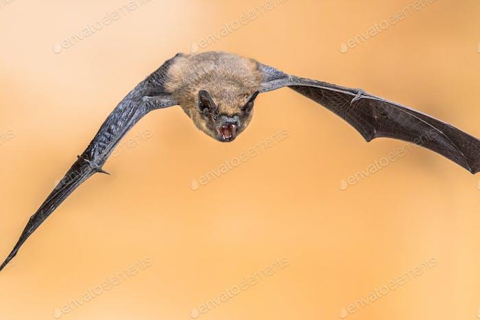 Echolocating pipistrelle bat crop