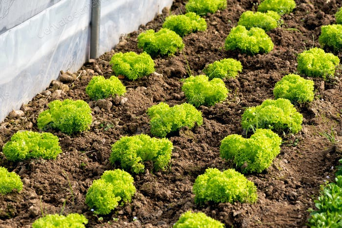 Delicious parsley or lettuce rows in bare soil