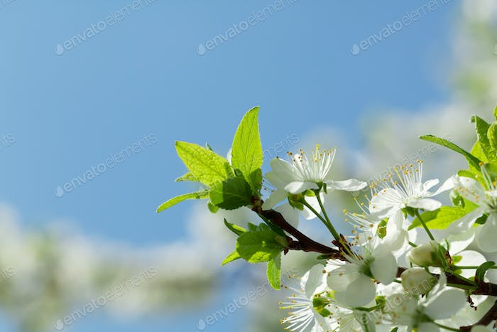 Apple blossom spring tree