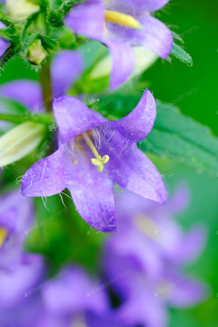 Bellflowers (Campanula) close-up
