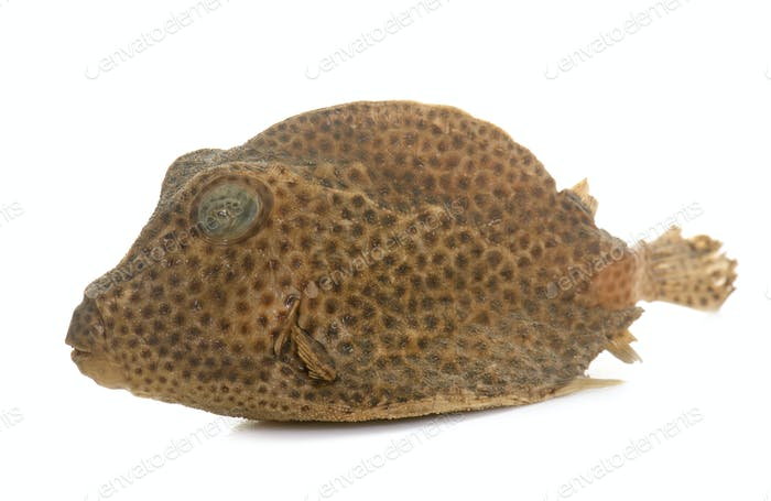 boxfish in studio