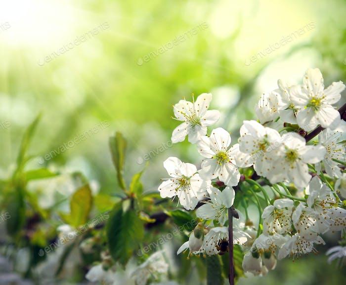 Grüner Frühlingshintergrund mit schönen blühenden Baum