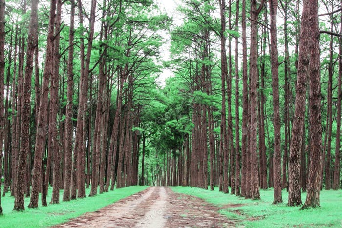 Pine trees with green nature