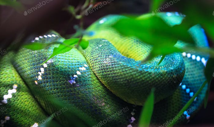 Emerald Tree Boa Curled Up on a Branch