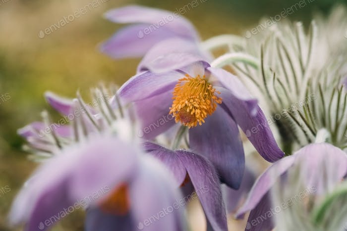 Belarus. Beautiful Wild Spring Flowers Pulsatilla Patens. Flower