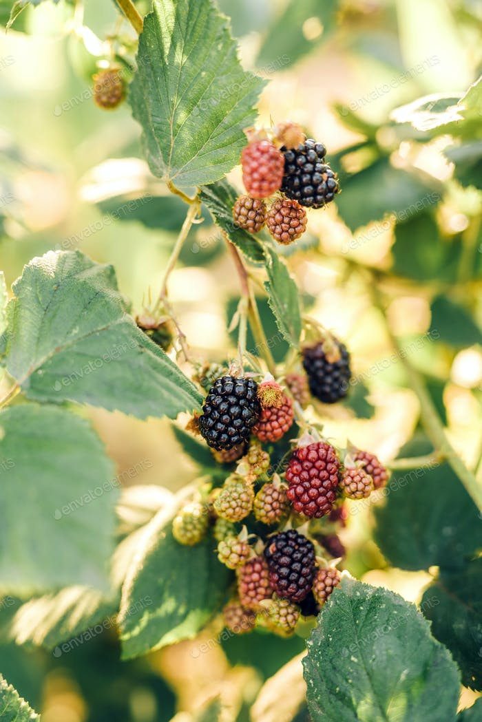 Blackberry berries