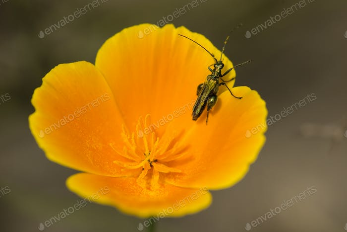 coleopteron insect on California golden poppy