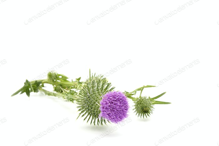 Flower of Bull Thistle