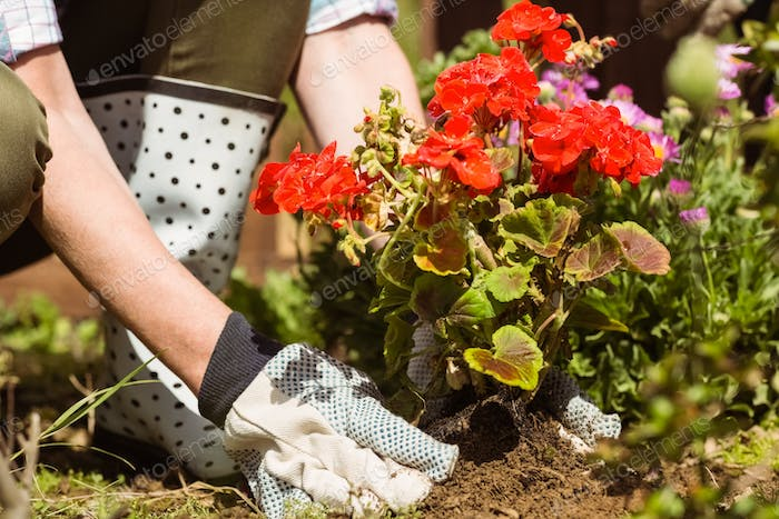 Woman planting a red flower in the garden
