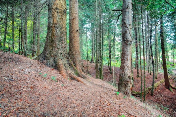spirit of freshness in Pine forest.