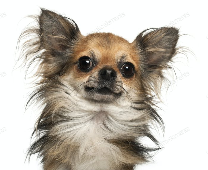 Close-up of Chihuahua, 2 years old, in front of white background