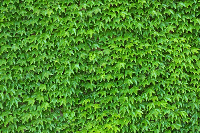 Green Ivy Wall Background and Texture