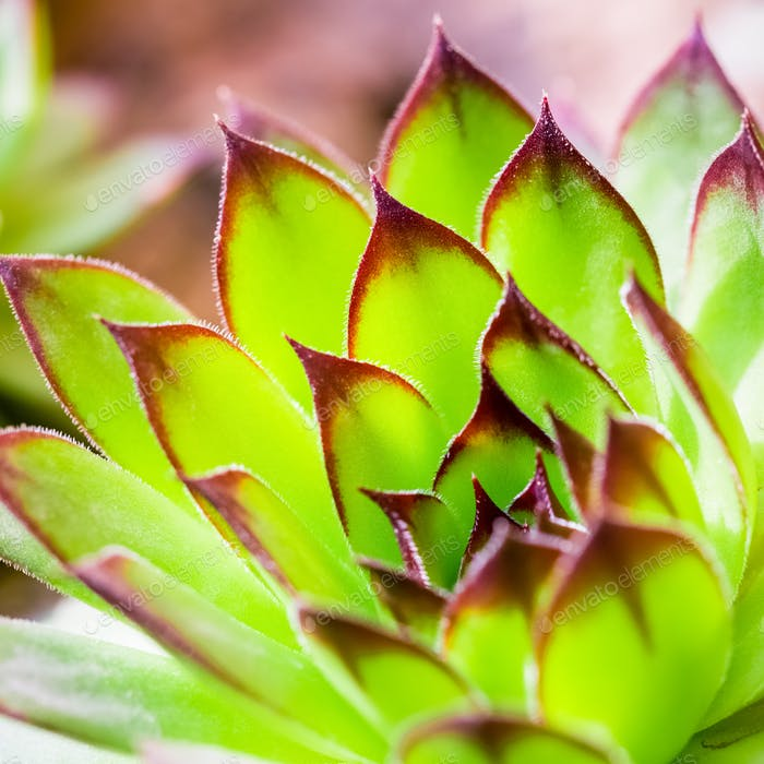 green sempervivum plant closeup