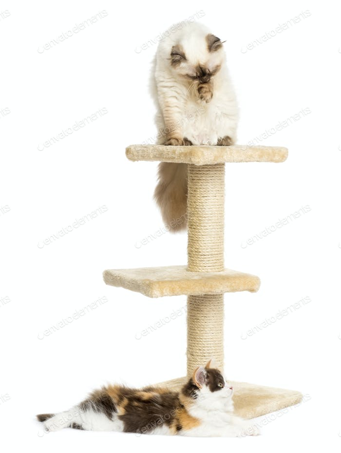Highland fold and straight kitten on a cat tree, isolated on white