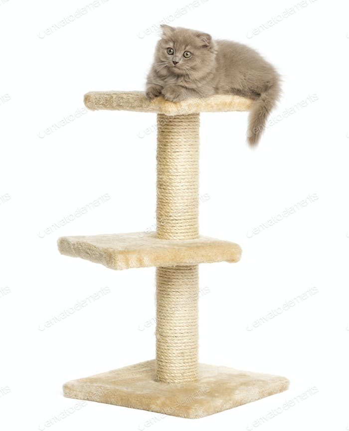 Highland fold kitten lying on top of a cat tree, isolated on white