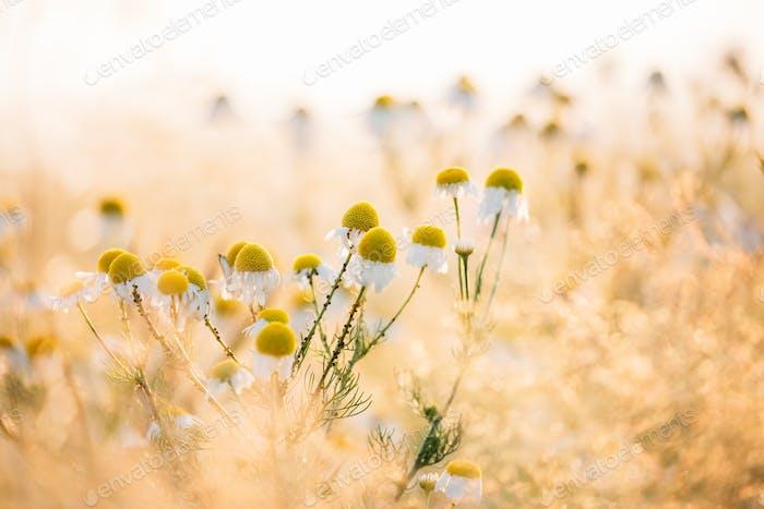 Blooming Wild Flowers Matricaria Chamomilla Or Matricaria Recuti