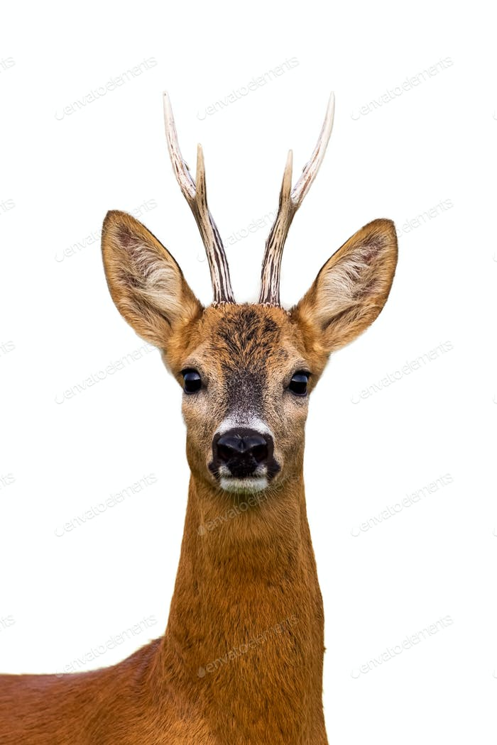 Head of roe deer buck isolated on white