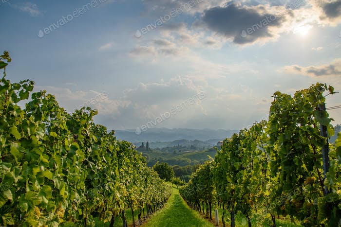 White grape crops in a vineyard during autumn