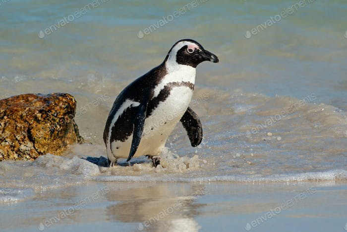 African penguin in shallow water