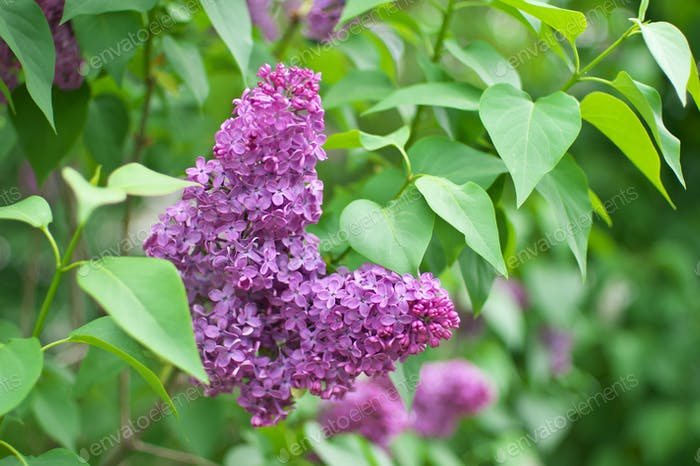 Lilac flower on bush.