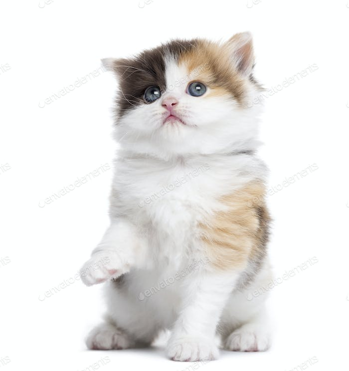 Front view of a Highland straight kitten pawing up, looking up, isolated on white