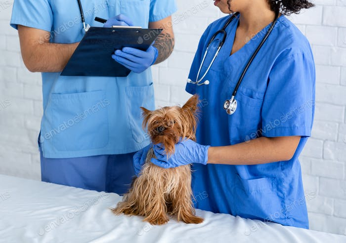 Veterinarian doctor asking advice from his assistant about little dog's treatment in clinic