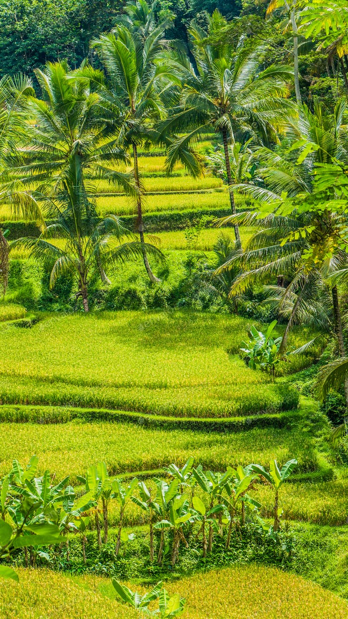 Beautiful palm trees growing in cascade amazing Tegalalang Rice Terrace fields, Ubud, Bali