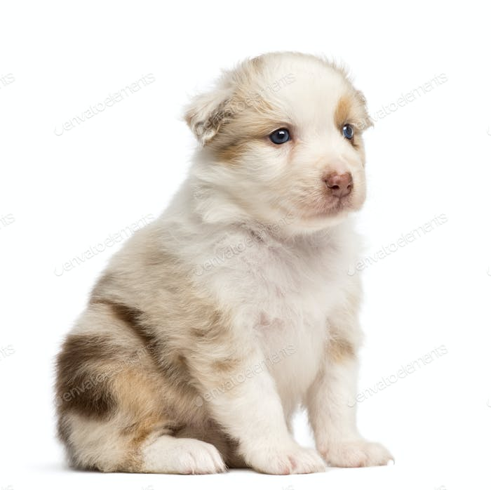 Australian Shepherd puppy, 30 days old, sitting against white background