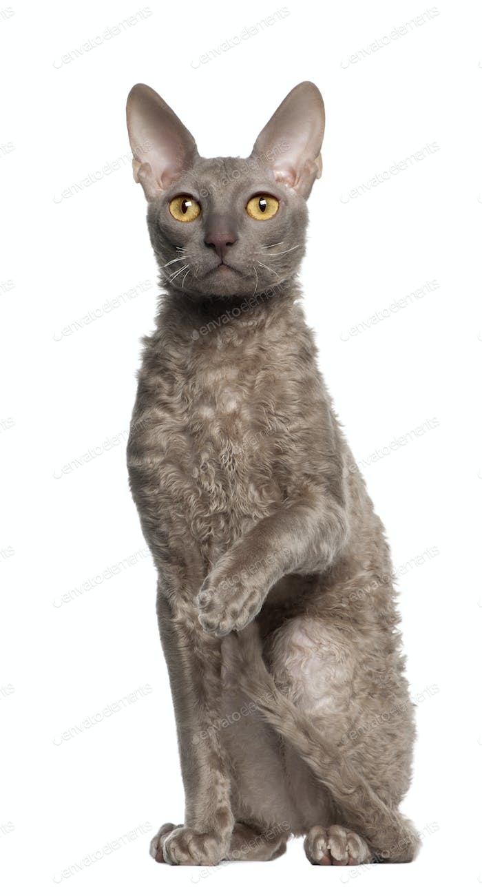 Portrait of Cornish Rex cat, 9 months old, sitting in front of white background