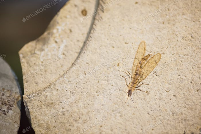 Fossil des Insekts