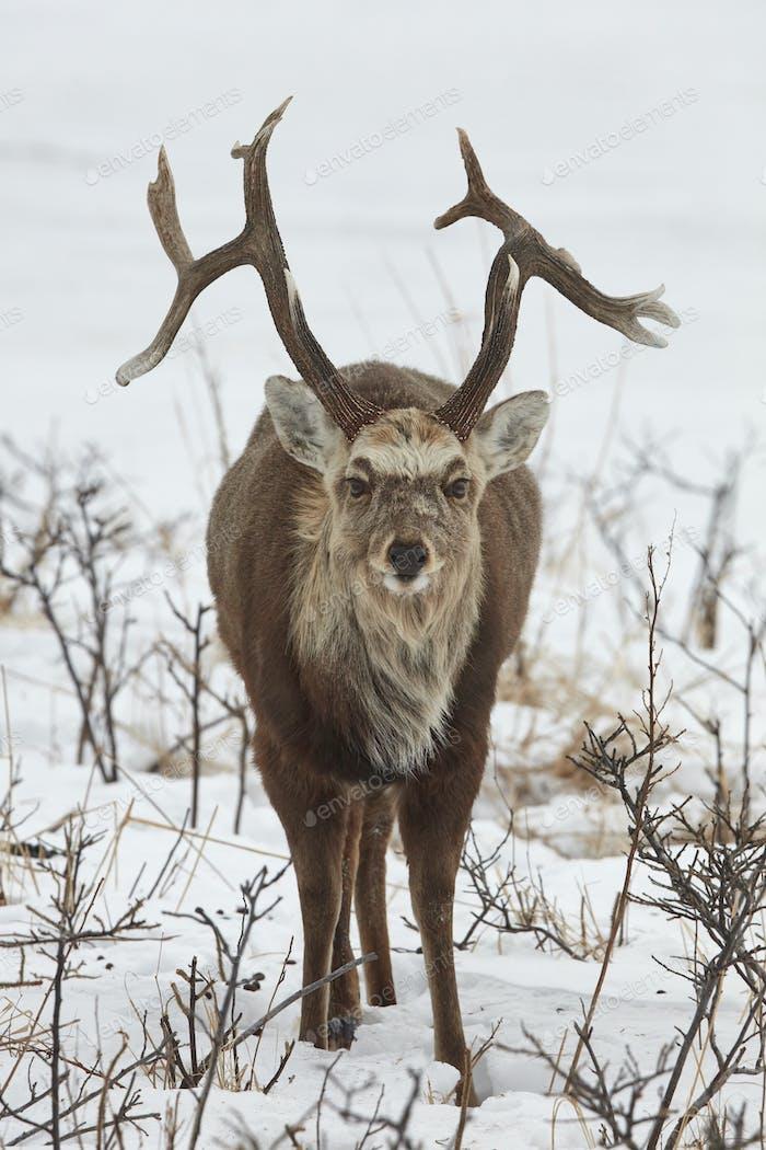 Sika deer (Cervus nipponin) in snow in winter.