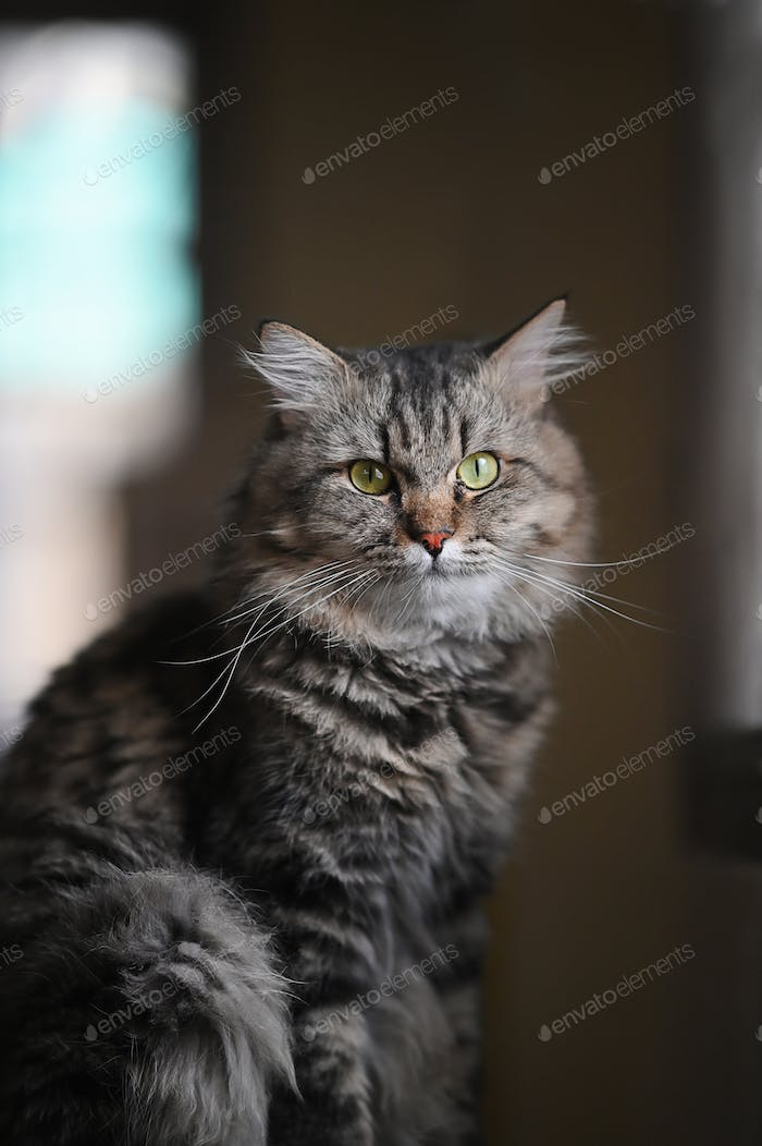 Photo of adorable main coon cat sitting on table over orderly living room.