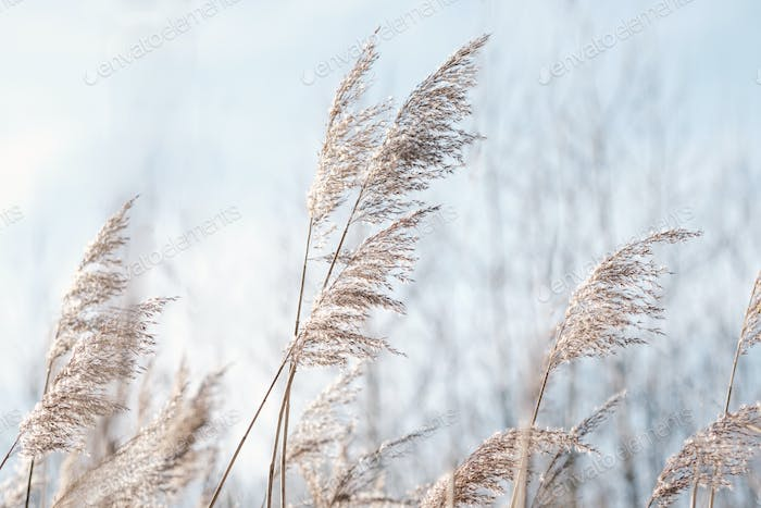 Pampas grass on the lake, reed layer, reed seeds.