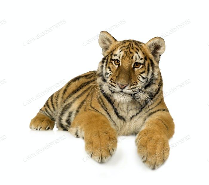 Tiger cub (5 months)