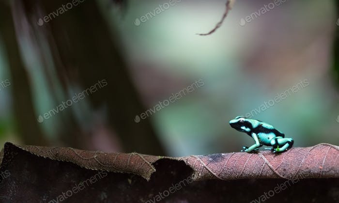 Green and Black Poison Dart Frog in Costa Rica