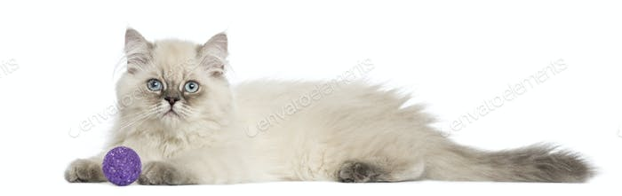 Side view of a British Longhair kitten lying with ball, 5 months old, isolated on white