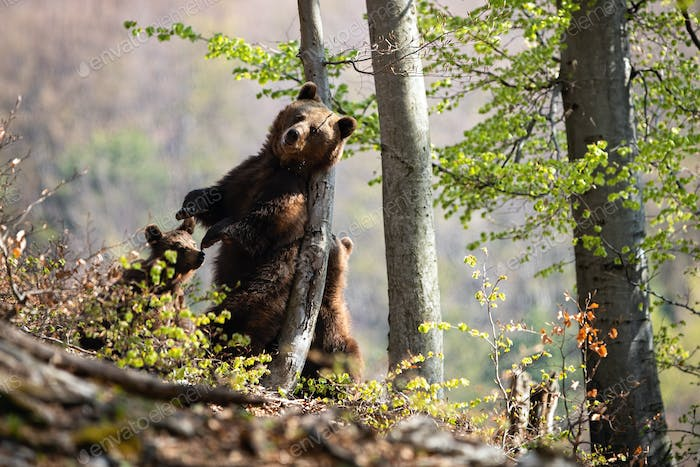 Brown bear scratching back on tree in summer forest