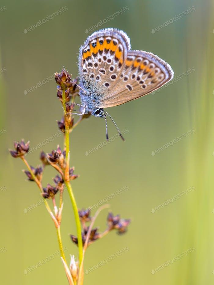 Mariposa azul con tachuelas Mujer de plata que se prepara para la Noche