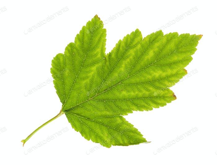 Gelbfärbung grünes Blatt Physocarpus Strauch isoliert
