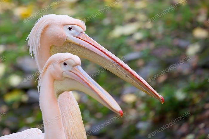 Pelicans, a portrait
