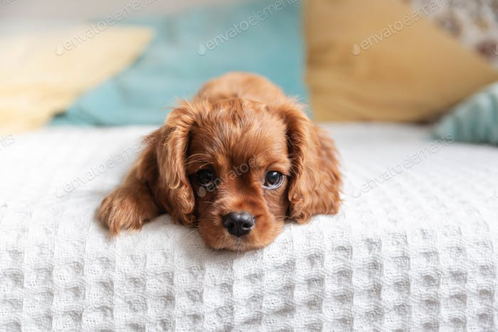 Puppy of cavalier king charles spaniel